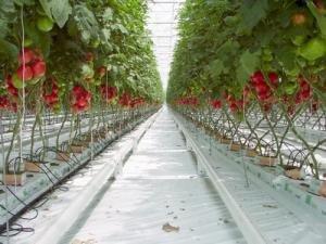 dutch-tomatoes.jpg